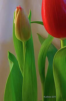 Budding Tulip by Brenda Leitow