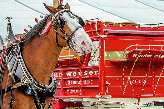 Budweiser Clydesdale in Full Dress by Bill Gallagher