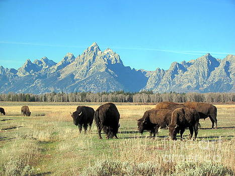 Buffallo  by Irina Hays