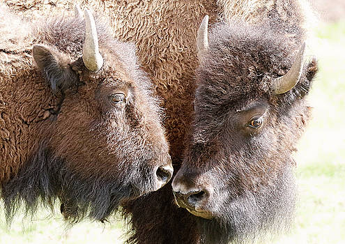 Buffalo Heads by Athena Mckinzie