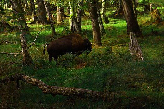 Buffalo in the trees by Jeff Swan