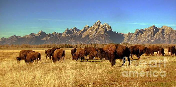 Buffalo  by Irina Hays
