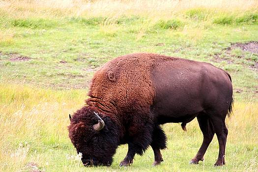 Buffalo Roaming by Charlene Reinauer
