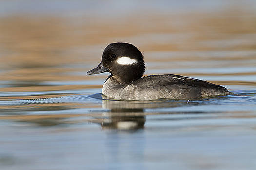Bufflehead in early morning by Bryan Keil