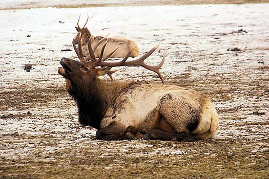 Bull elk calls out by Jeff Swan