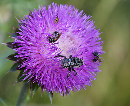 Bull Thistle and Bees  by Kathy Clark