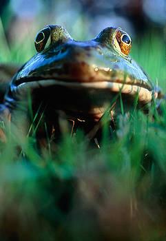 Bullfrog by David Nunuk