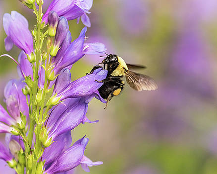 Bumble Bee on Rocky Mountain Penstemon by Lois Lake