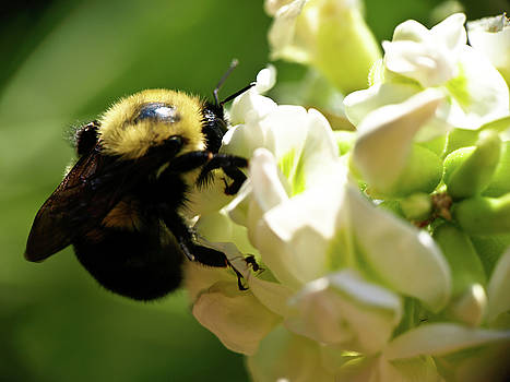 Bumble Bee by Valeria Donaldson