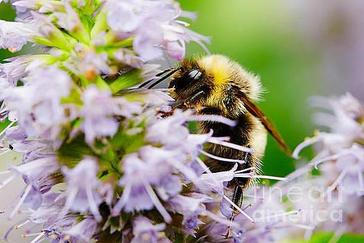 Nick  Biemans - Bumblebee on a violet flower
