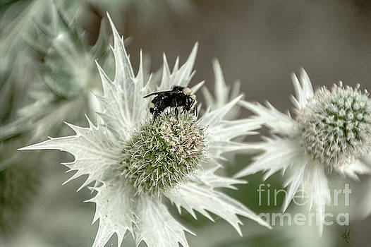 Bumblebee on Thistle Flower by Victoria Harrington