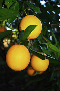 Bunch of Oranges by Aimee L Maher Photography and Art Visit ALMGallerydotcom