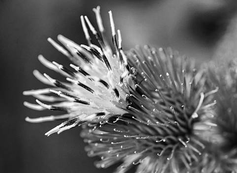Steve Harrington - Burdock Macro 2 - bw