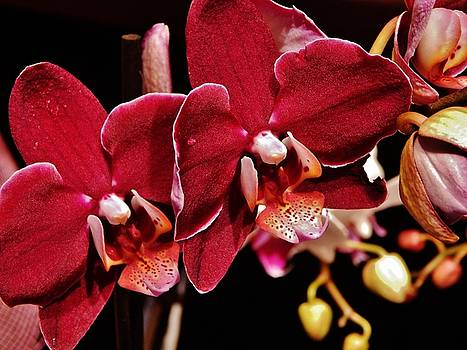 Burgundy Orchids by VLee Watson