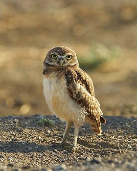 Burrowing Owl #6 by Doug Herr