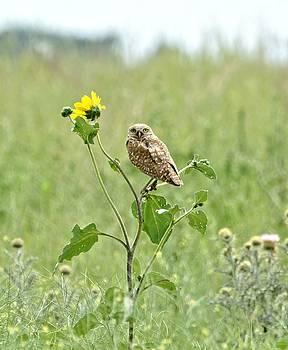 Burrowing Owl by Amy McDaniel