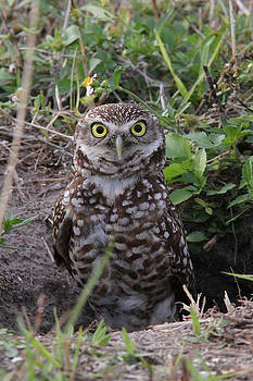 Burrowing Owl - female by Doris Potter