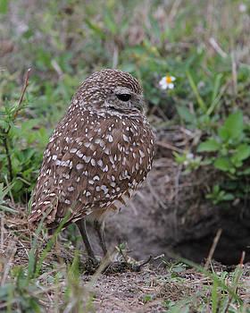Burrowing Owl - male by Doris Potter