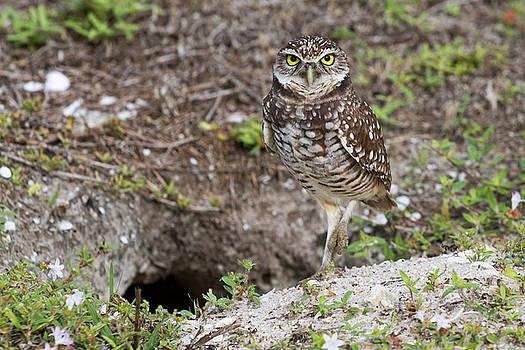 Burrowing Owl Marco Island by Toni Thomas