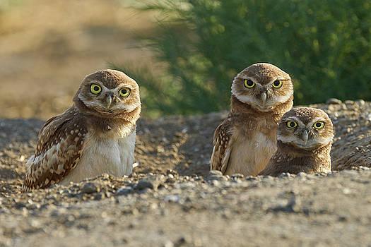 Burrowing Owls by Doug Herr
