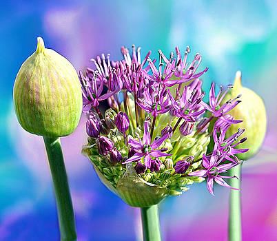 Bursting Allium by Bev  Brown