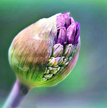 Bursting Bud by Bev  Brown