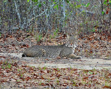 Bushed Bobcat by Al Powell Photography USA