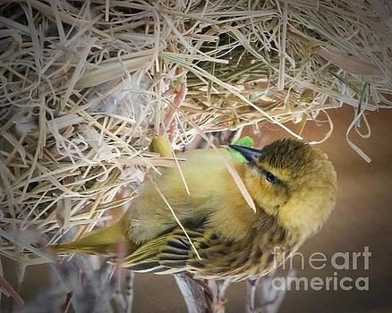Busy Golden Weaver by Anita Oakley
