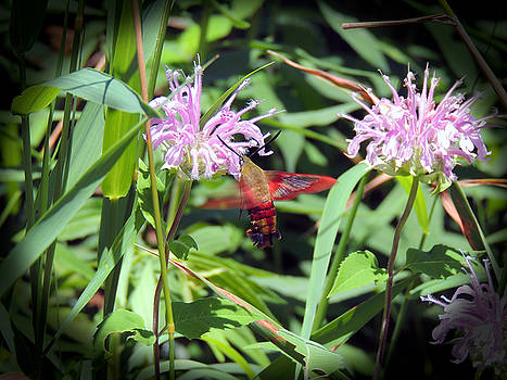 Busy Hummingbird Moth by Teresa Schomig