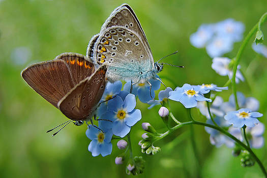 Butterflies and forget-me-not flowers by Marek Mierzejewski