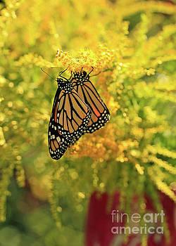 Butterflies on Yellow Goldenrod Photo by Luana K Perez
