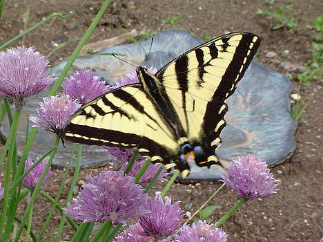 Butterfly and Chives  by Patty  Leclerc