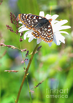 Butterfly by Ansel Price