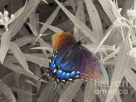 Butterfly blue by Rrrose Pix
