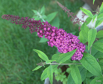 Butterfly bush by Sue Rosen