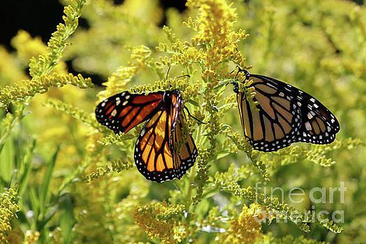 Butterfly in Fall  by Luana K Perez