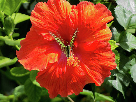 Butterfly In Hibiscus by Kimo Fernandez
