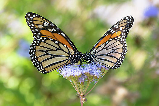 Butterfly Kisses by Linda Dyer Kennedy