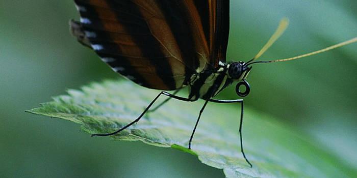 Linda Shafer - Butterfly Leaf