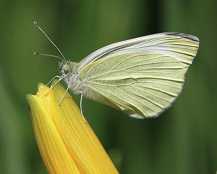 Butterfly on a day lily bud by Doris Potter