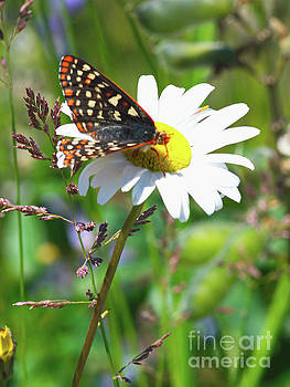 Butterfly on a Wild Daisy by Ansel Price