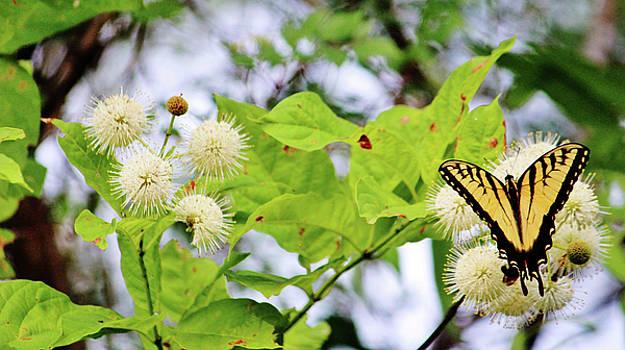 Butterfly On Buttonbush by Cynthia Guinn