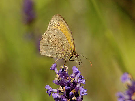 Butterfly on Lavander by Franz Roth