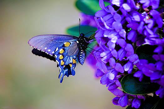 Butterfly on Mountain Laurel by Debbie Karnes