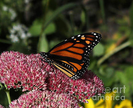 Butterfly On Sedum  by Lori Tordsen