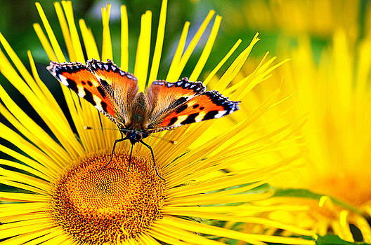 Butterfly on Yellow by Bev  Brown
