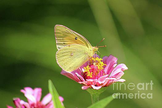 Butterfly Pastels by Karen Adams