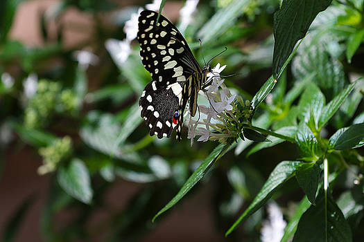 Butterfly V by David Yunker