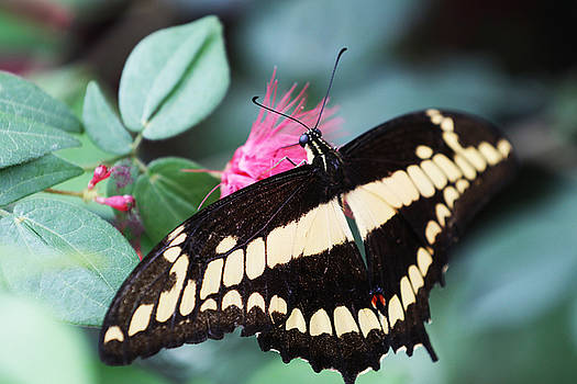 Butterfly VI by David Yunker