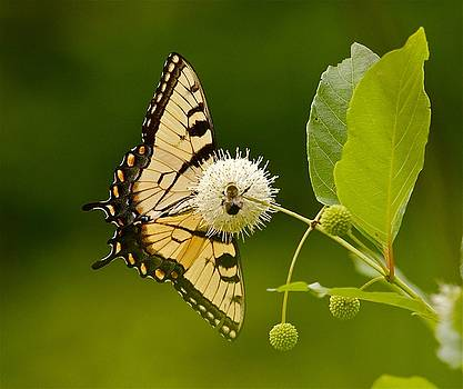 Buttonbush by Chris Burke